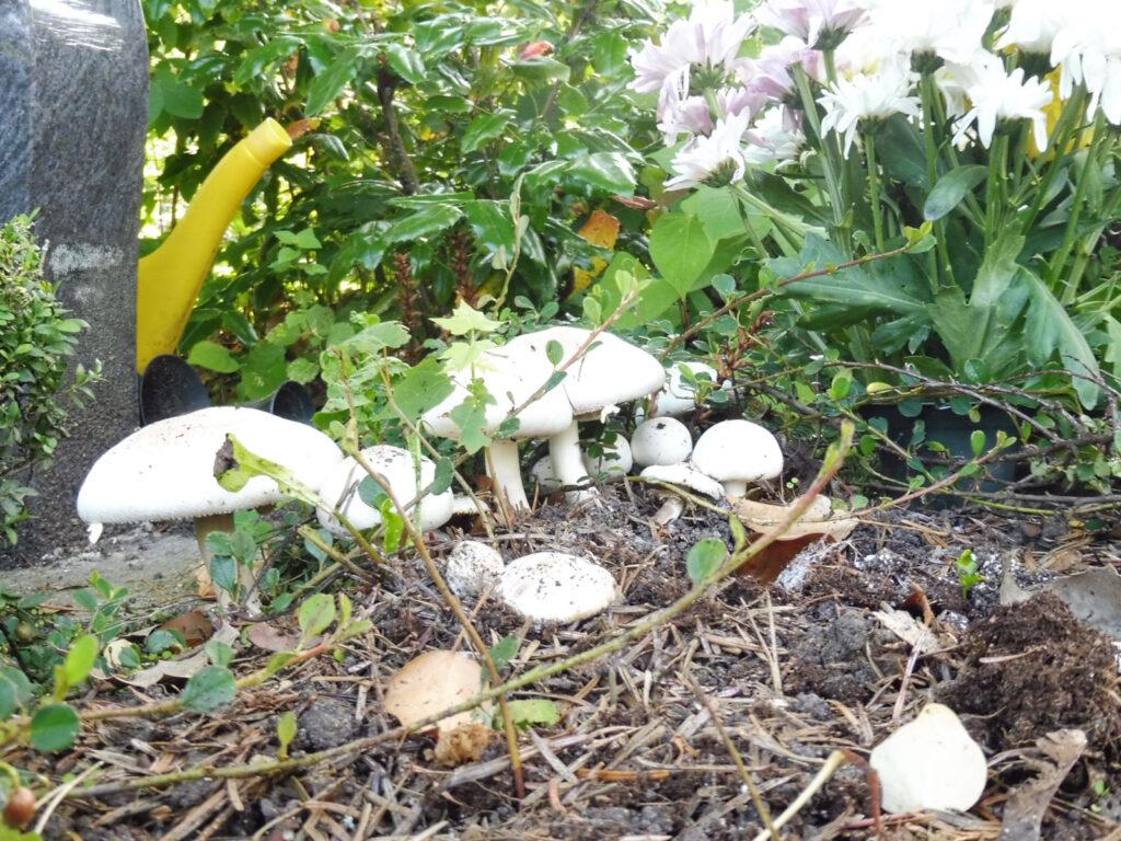 Wiesenchampignons auf einem Urnengrab.