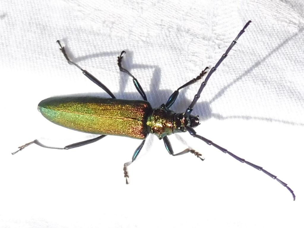 Großer Käfer, genaue Beschreibung unter dem Bild im Blogbeitrag.